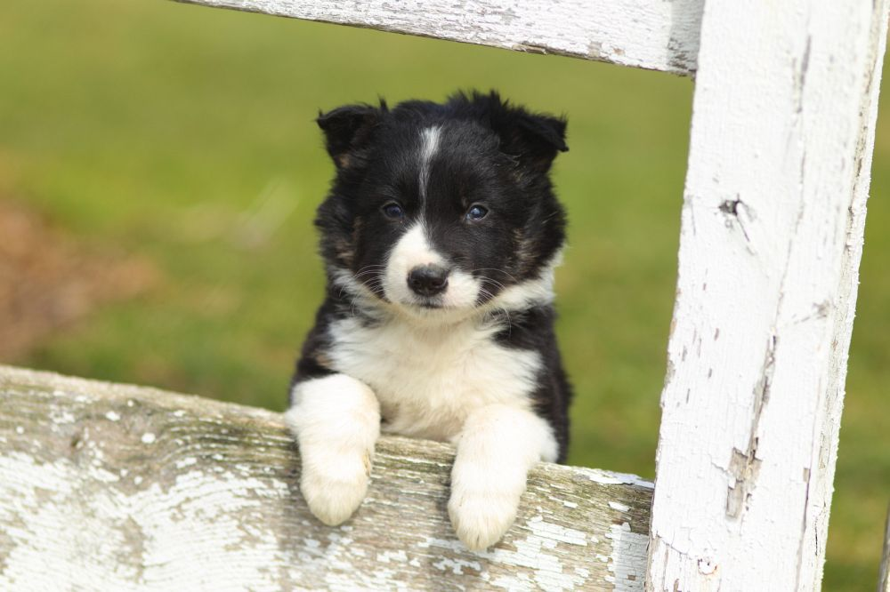 Seriose Border Collie Zuchter Finden Mybordercollie De