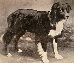 Auld Hemp Border Collie