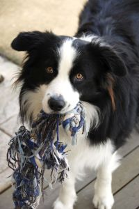 Border Collie Charakter