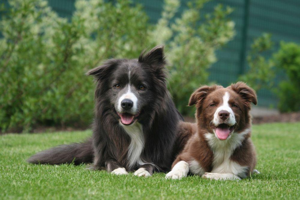 Border Collie Hunde