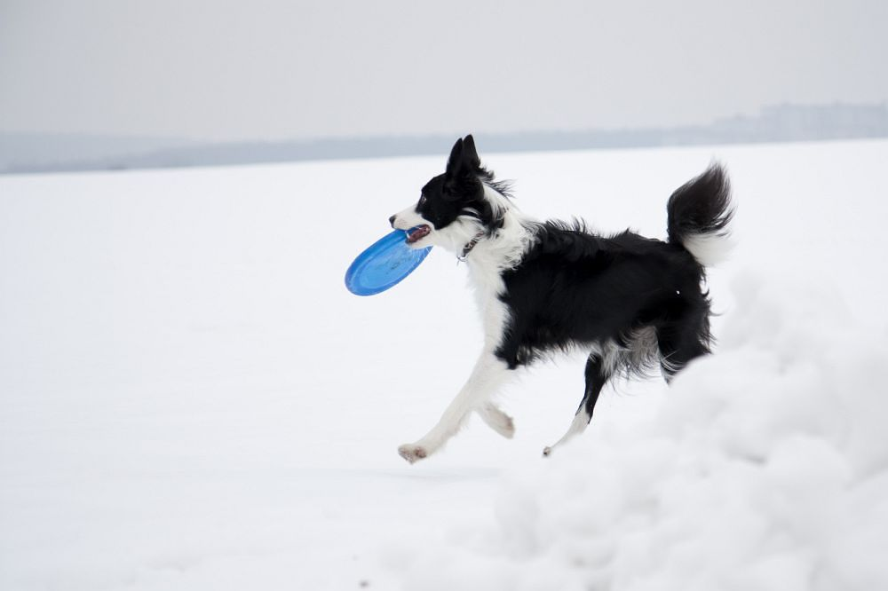 Border Collie Pfoten Winter Schnee Streusalz