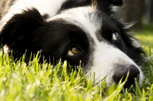 border collie in Not