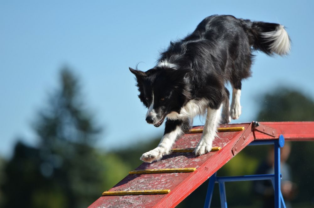 Erziehung Border Collie