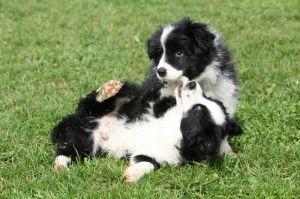 Gesunde Border Collie Hunde
