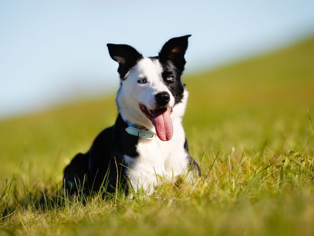 Border collie schäferhund mix