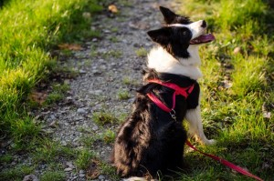 Kauf Border Collie