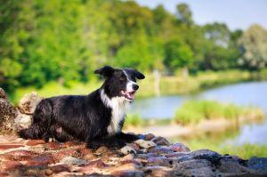 Lebensspanne Border Collie: Wie alt wird mein Hund?