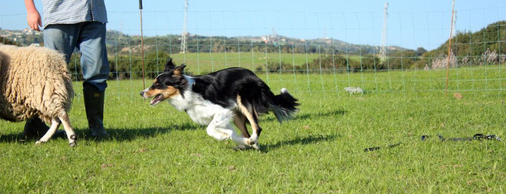 Border Collie Wesen