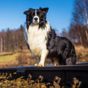Wurmkur Border Collie