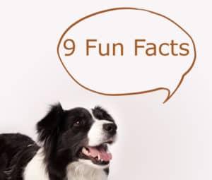 Border Collie Fun Facts