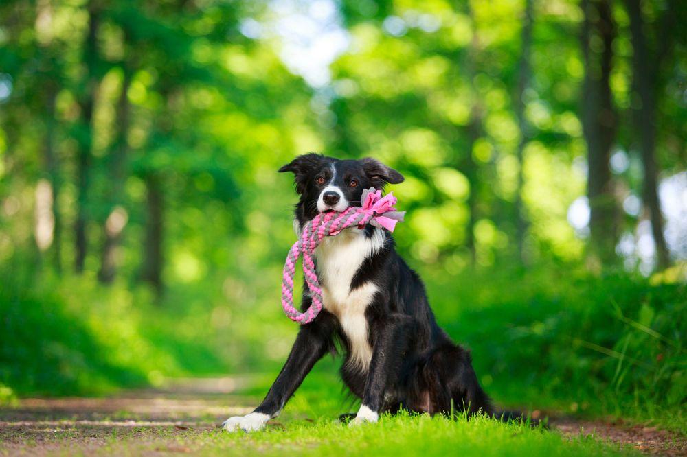 stehohren schäferhund tapen