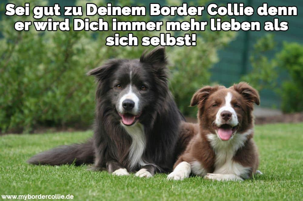 Border Collie Zitate Und Sprüche Mybordercolliede