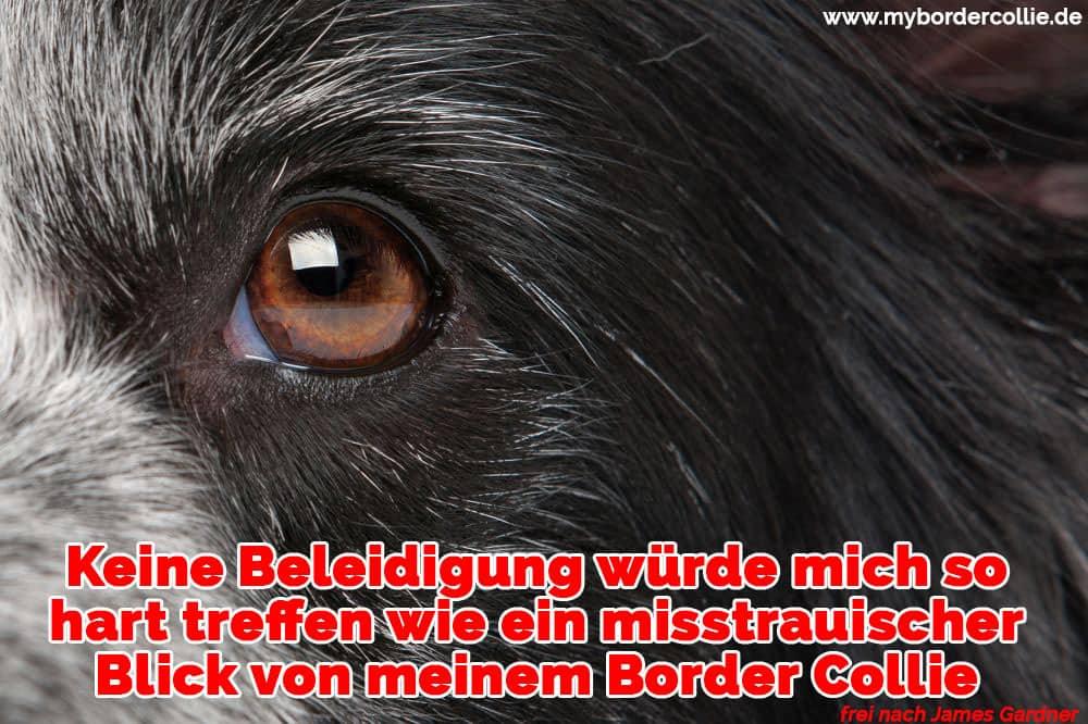 Das Auge eines Border Collie