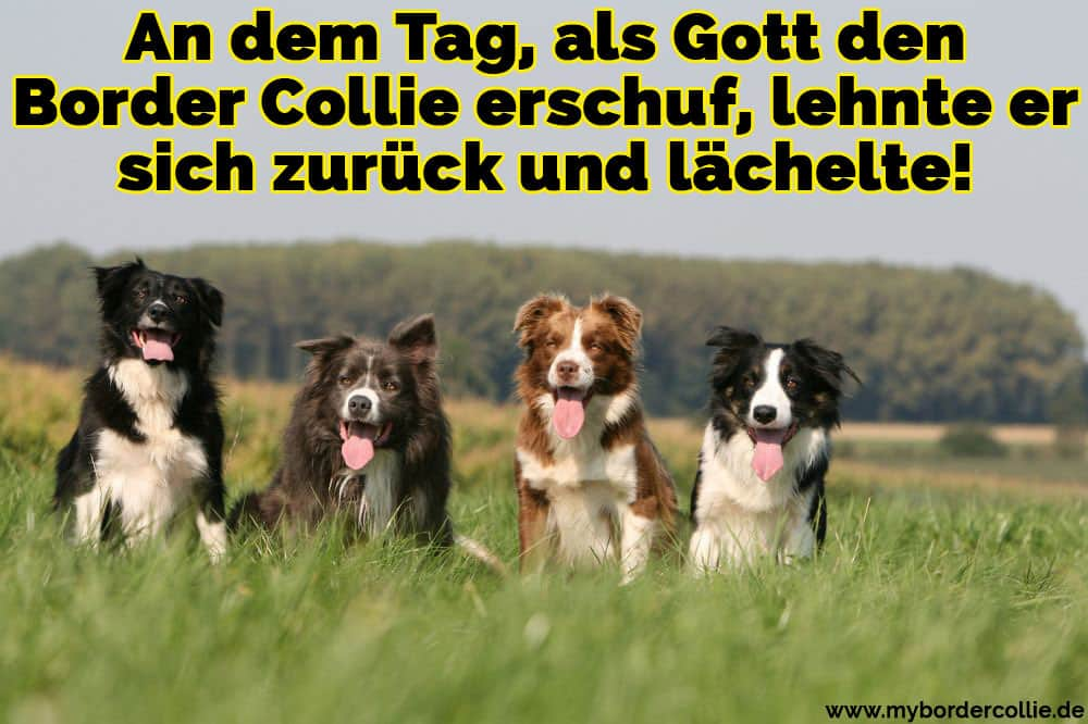 Vier Border Collie im Gras