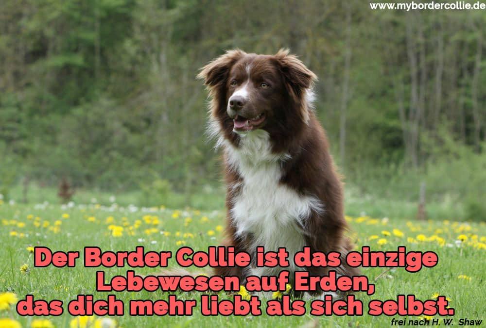 Ein Border Collie im Garten liegen