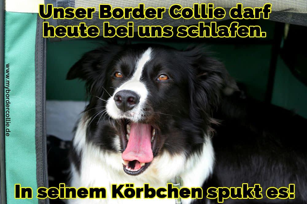 Ein Border Collie schläfrig
