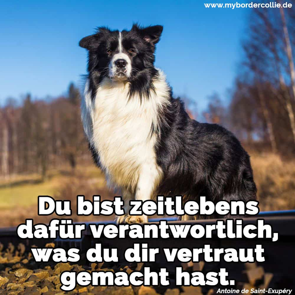 Ein Border Collie in dem Wald