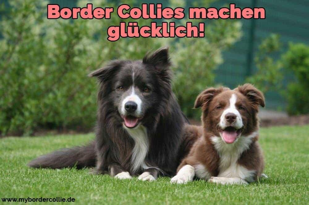 Zwei Border Collies auf Gras