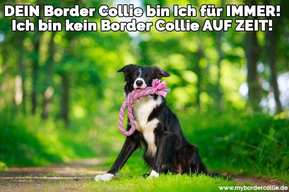 Ein Border Collie beißt ihr Spielzeug