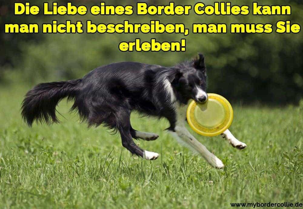 Ein Border Collie spielt mit ihrem Spielzeug