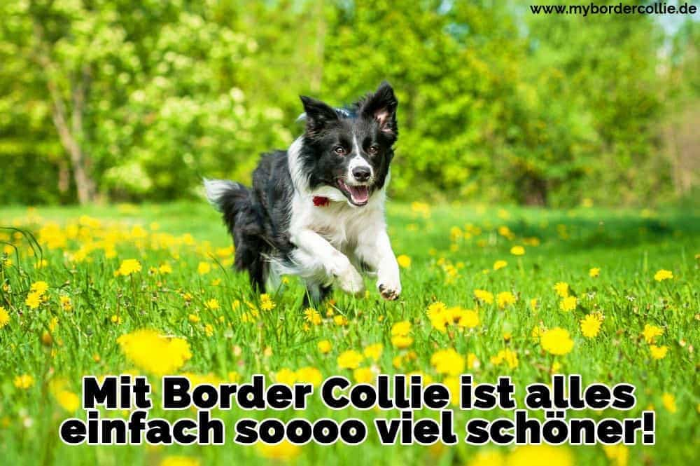 Ein Border Collie in den Garten läuft