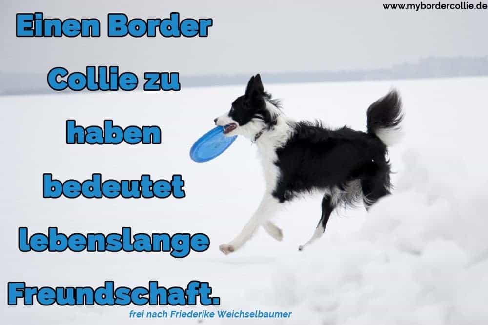Ein Border Collie spielt mit ihrem Spielzeug im Schnee