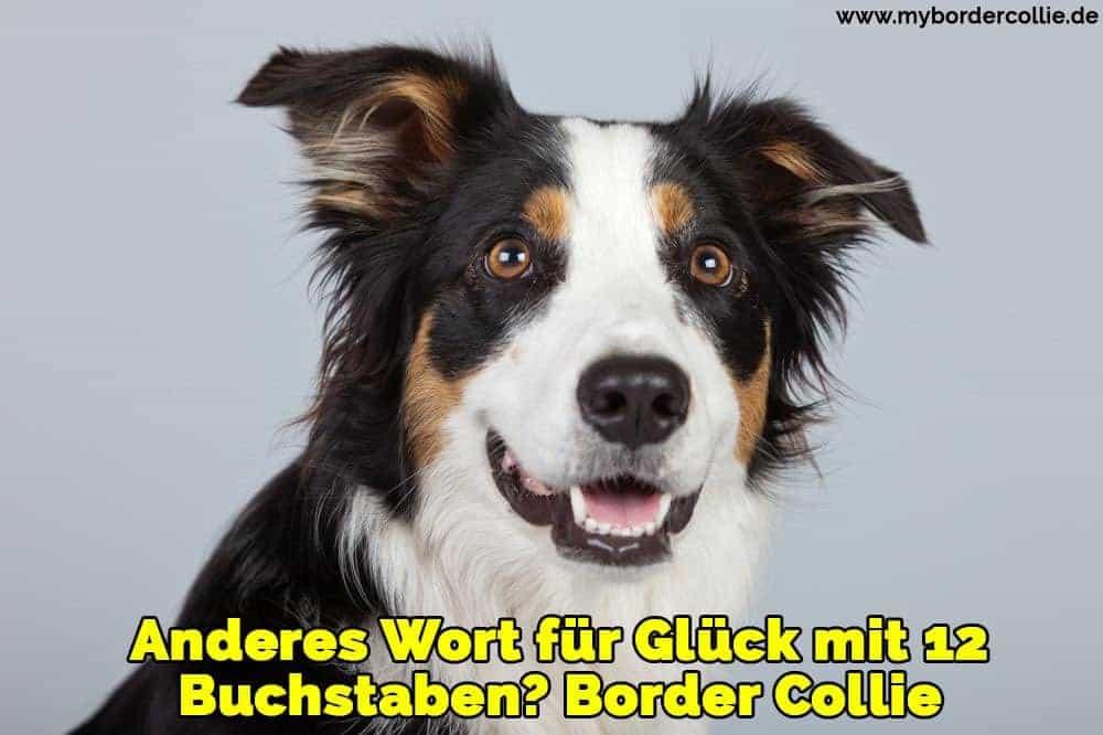 Ein schöner Border Collie