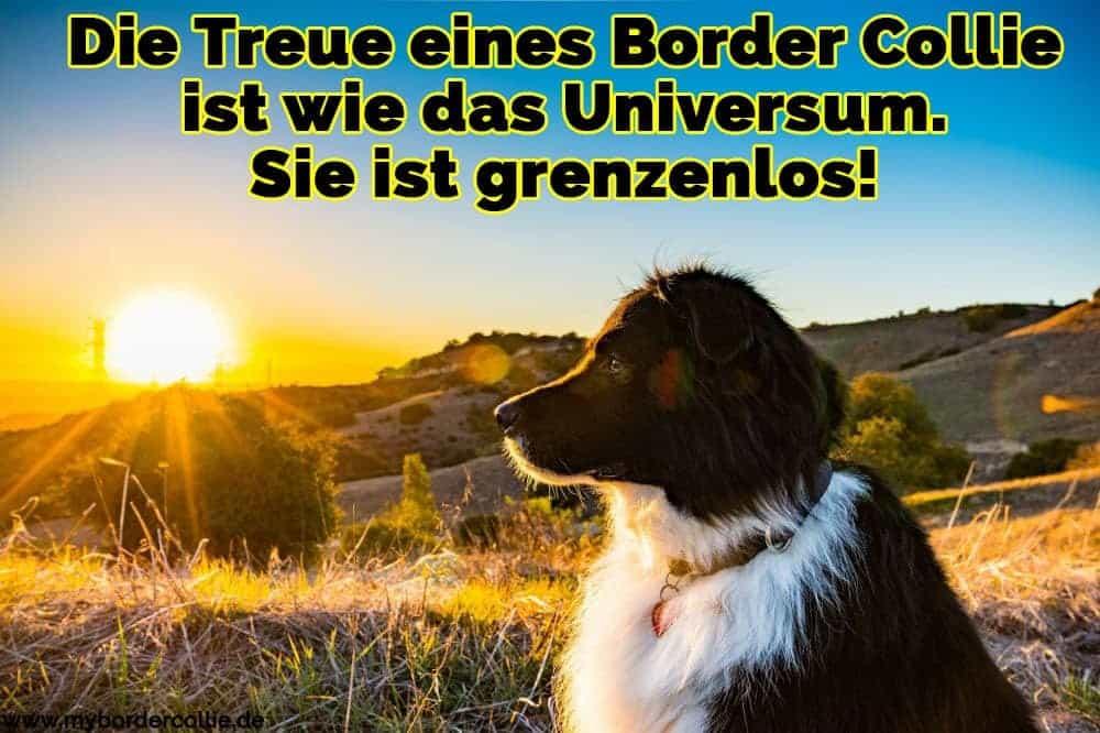 Ein schöner Border Collie, den Horizont beobachten