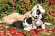Two puppies in red leaves