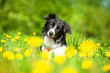 Portrait of border collie lying on the field with dandelions