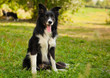 portrait of a funny  Border Collie dog in the park
